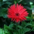 Red daisy with pointed petals — Stock Photo #2657445