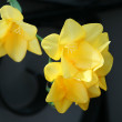 Beautiful yellow daffodils — Stock Photo