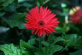 Red daisy with pointed petals — Stock Photo