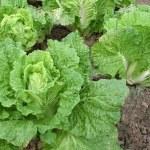 Field of green fresh vegetable — Stock Photo #2294461