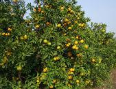 Fresh Oranges on a tree — Stock Photo