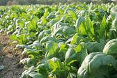 Spinach in the farmland — Stock Photo