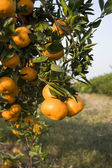Citrus Orange growing on a tree — Stock Photo