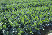 Vegetables in the farmland — Stock Photo