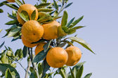 Ripe oranges growing in an orchard — Stock Photo