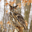 Stock Photo: Beautiful Eagel owl Bubo Bubo