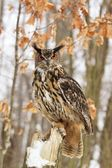Beautiful Eagel owl Bubo Bubo — Stock Photo