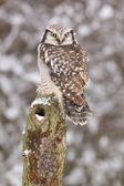 Hawk owl /Surnia ulula/ — Stock Photo