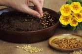 Sowing seeds for Easter green crop — Stock Photo