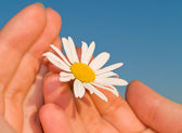 Chamomile in girl's hand — Stock Photo