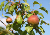 Red pears on branch in garden. — Stock Photo