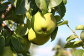 Yellow pears on branch in garden. — Stock Photo