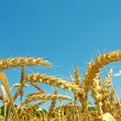 Ripe ears of wheat. Summer. Midday. — Stock Photo