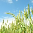 Stock Photo: Agricultural landscape. Summer.