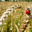Insect red ladybird. Wheaten ear. — Stock Photo #2547637
