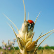 Bug ladybird. Wheaten field. Summer. — Stock Photo