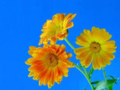 Three flowers calendula. — Stock Photo