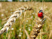 Insect red ladybird. Wheaten ear. — Stock Photo