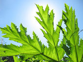 Sunny day. Green leaf cow-parsnip. — Stock Photo