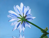 Blue flower of chicory — Stock Photo