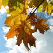Maple leaves on background of clouds. — Stock Photo