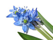 Flower Scilla Sibirica. With leaves. — Stock Photo