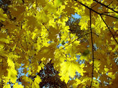 Bright yellow autumn leaves of maple. — Stock Photo
