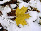 Yellow maple leaf on a snow. — Stock Photo
