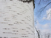 Bark of a birch and the sky — Stock Photo