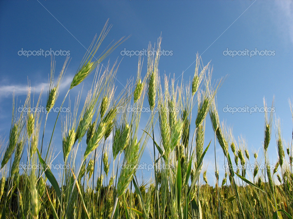 The sun and green ears of a rye   Stock Photo #2604614