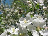 Abeille vole à fleur de pommier. — Photo