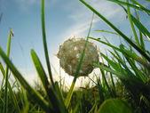 Fragola di trifoglio. estate. — Foto Stock