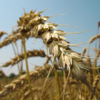 Ear of wheat close-up. — Stock Photo #2637002