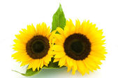Two sunflowers — Stock Photo