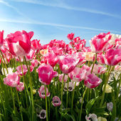 Field of pink tulips — Stock Photo