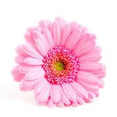 Single pink gerber — Stock Photo