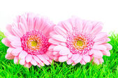 Two pink gerber on green grass — Stock Photo
