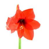 Red amaryllis — Stock Photo