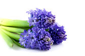 Bouquet blue hyacinth — Stock Photo