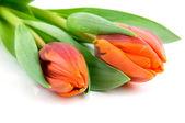 Two orange tulips — Stock Photo