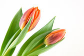 Two orange tulips — Stock Photo