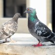 A couple of pigeons — Stock Photo