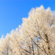 Trees under snow over blue sky — Stock Photo #2308674