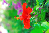 Beautiful red flower — Stock Photo