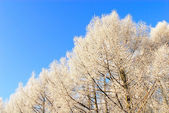 Trees under snow over blue sky — Foto de Stock