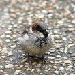 Passer domesticus - Stock Photo