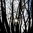 Sun between trees — Stock Photo #2574923
