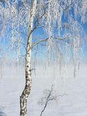 Silver birch — Stock Photo