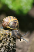 Snail on a mission — Stock Photo
