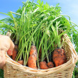 Basket of Carrots — Stock Photo